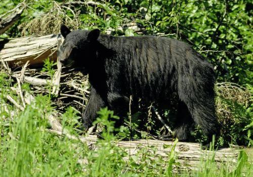 Schwarzbär am Waldrand