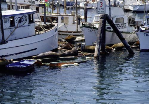 Seelöwen auf den Stegen in der Hafenanlage von Monterey