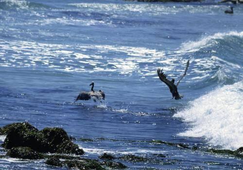Braunpelikane am Pazifik