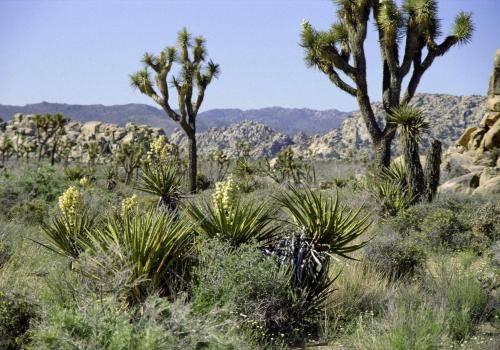 Yuccapalmen/Palmlilien und Joshua Trees
