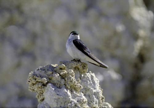 Schwalbenart auf einem Stein