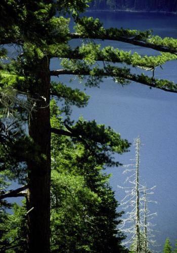 Alter Baum am Lake Tahoe