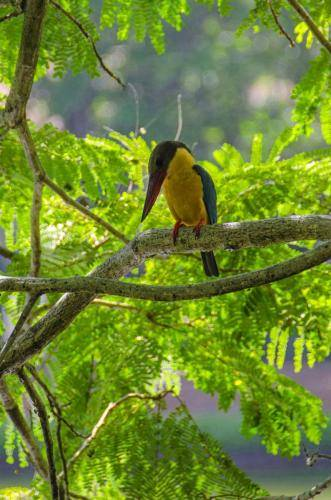 Storchschnabelliest in Sri Lanka