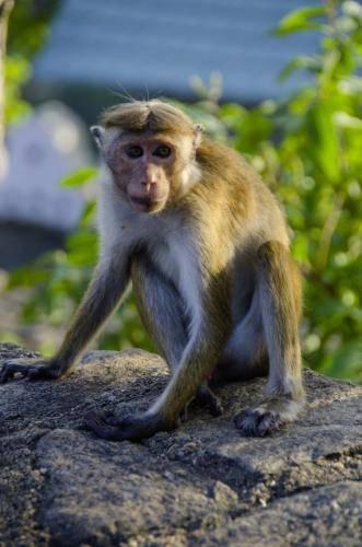 Ceylon-Hutaffe in Sri Lanka