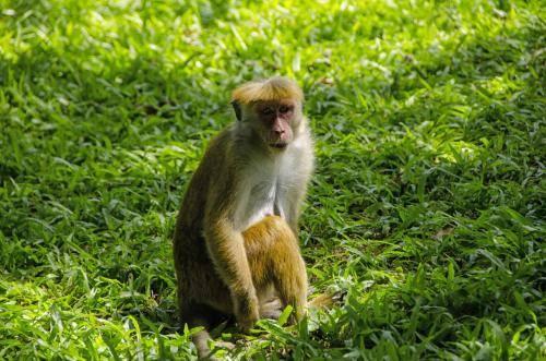 Ceylon-Hutaffe