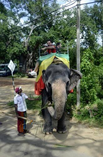 Der Elefant ist den Singalesen; Tamilen und Indern wichtig und heilig, Sri Lanka