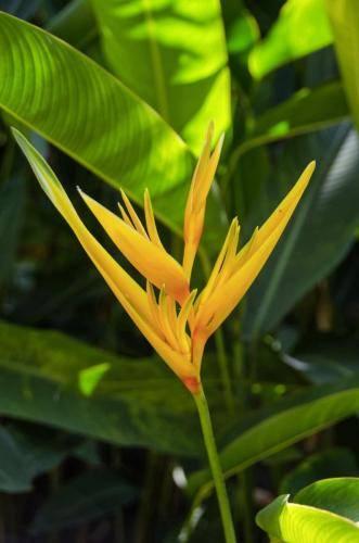 Paradiesvogelblume im königlicher Botanischer Garten Peradenija, Sri Lanka