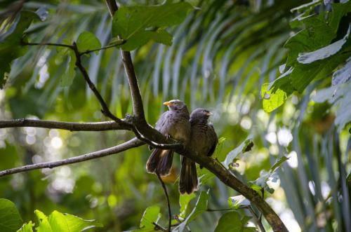 Ceylon-Drosslinge, Sri Lanka