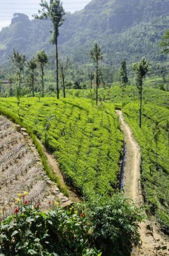 Teeplantage im Hochland von Sri Lanka