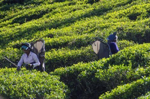 Teeanbau im Hochland von Sri Lanka
