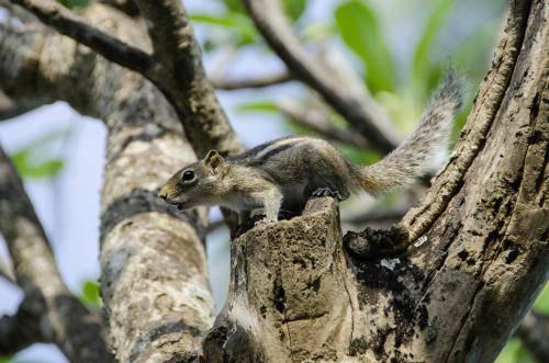 Indisches Streifenhörnchen