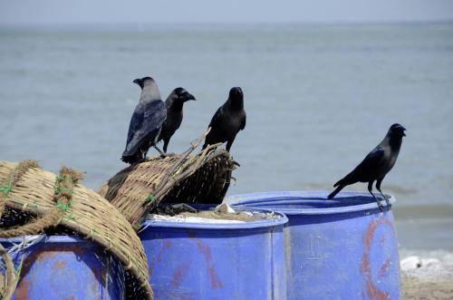 Rabenvögel in der Warteschleife zur Futteraufnahme