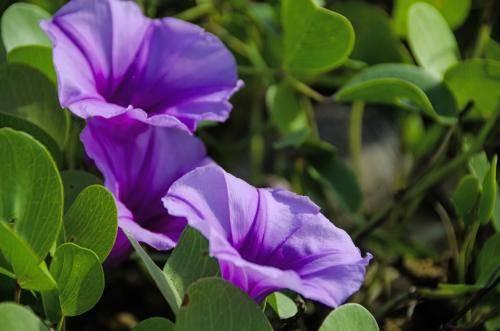 Strand Blumen an der Westküste Sir Lankas