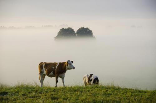 Frühnebelstimmung im Loisach Kochelsee Moor; Kühe im Vordergrund