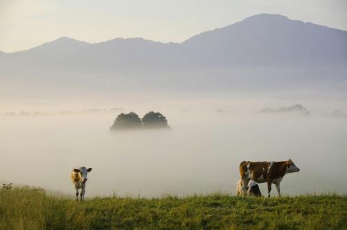Frühnebelstimmung im Loisach Kochelsee Moor, Kühe im Vordergrund