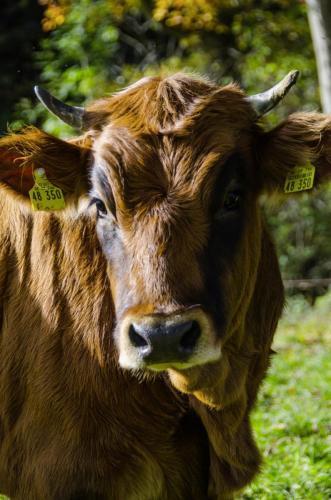 Werdenfelser Rind auf der Weide