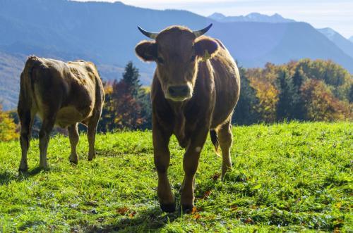 Junge Rinderherde auf der Weide