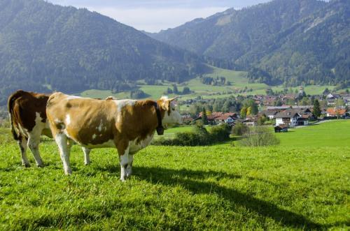 Kühe auf der Alm im Oberland