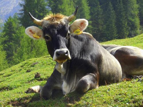 Kühe auf eineer  Gebirgsweid in Südtirol