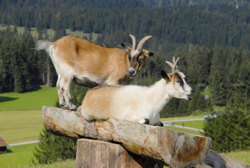 Zwei junge Ziegenböcke
