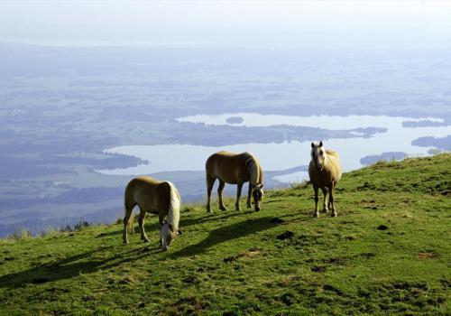 Pferde am frühen Morgen auf dem Hörnle bei Bad Kohlgrub, Oberbayern