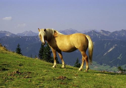 Pferd am frühen Morgen auf dem Hörnle bei Bad Kohlgrub, Oberbayern