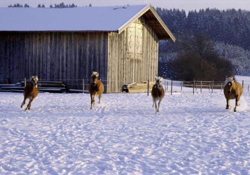 Galoppierende Pferde im Winter auf der Weide