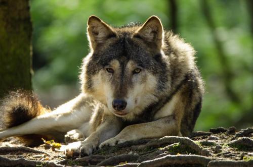 Wölfe sind Beutegreifer