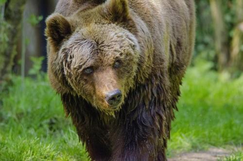 Braunbären gehören zur Tierfamilie der Bären