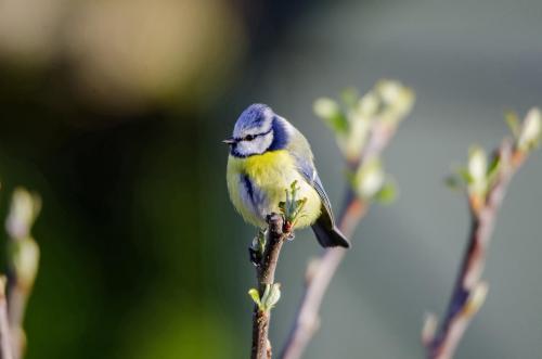Blaumeisen sind kleine Singvogel,