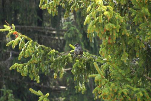 Tannenhäher auf einem Tannenbaum