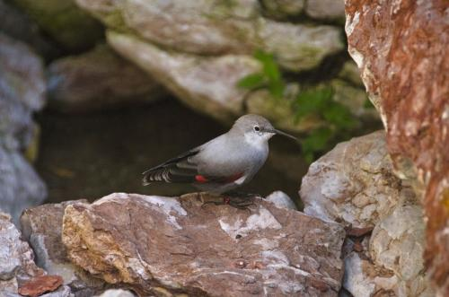 Der Mauerläufer ist ein kleibergroßer, auffällig gefärbter Singvogel