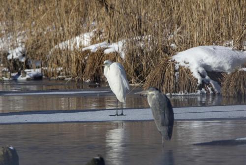 Silberreiher und Graureiher im Winter