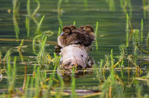 Junge Reiherente im Wasser