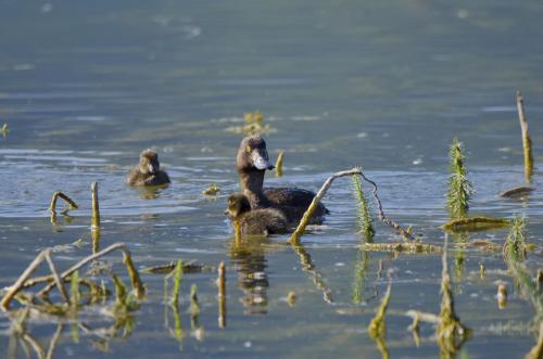 Reiherente mit Jungen im Wasser