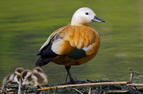 Die Rostgans ist ursprünglich ein Vogel Zentralasiens, kommt aber auch immer öfter in Mitteleuropa vor.