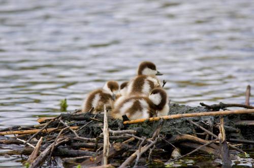 Junge Rostgänse kurz vor den ersten Wimmausflügen.