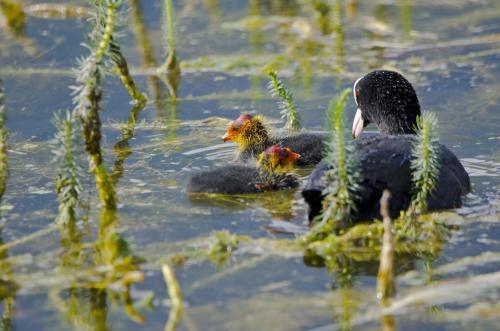 Blesshuhnfamilie im Wasser