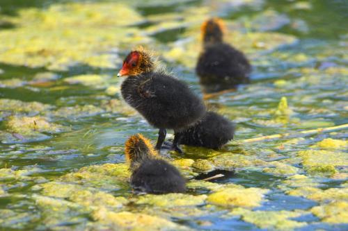 Junge Blässhühner
