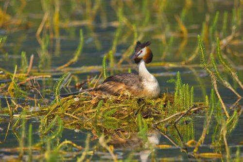 Brütender Haubentaucher im Nest