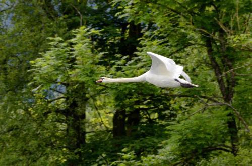 Schwäne sind die größten aller Entenvögel.