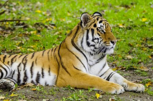 Königstiger auch Bengal-Tiger oder Indischer Tiger,