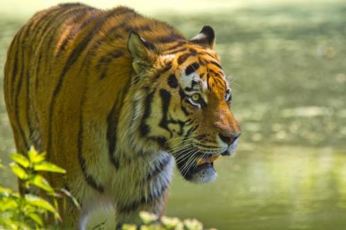 Königstiger auch Bengal-Tiger oder Indischer Tiger, ist eine Unterart des Tigers,