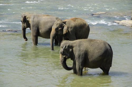 Badende Asiatische Elefanten im Fluß