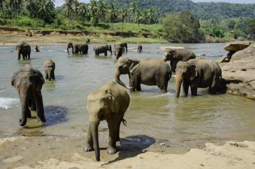 Asiatische Elefanten im Fluß