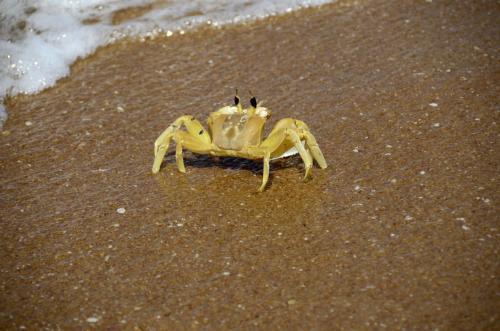 Meeresgrabbe am indischem Ozian