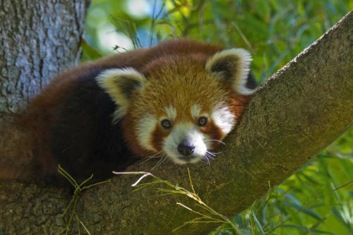 Der kleine Panda ist im östlichen Himalaya und im Südwesten Chinas beheimatet