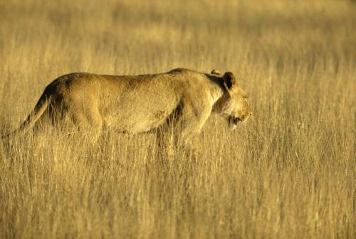 Löwe im Steppengras