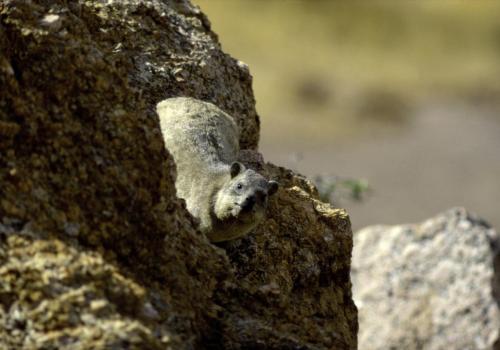 Klippschliefer auf Felsen