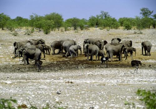 Elefantenherde und Strauße